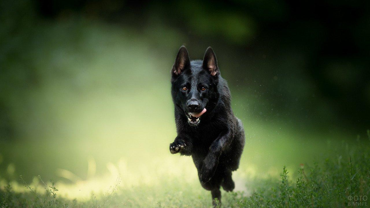 Чёрная овчарка в прыжке