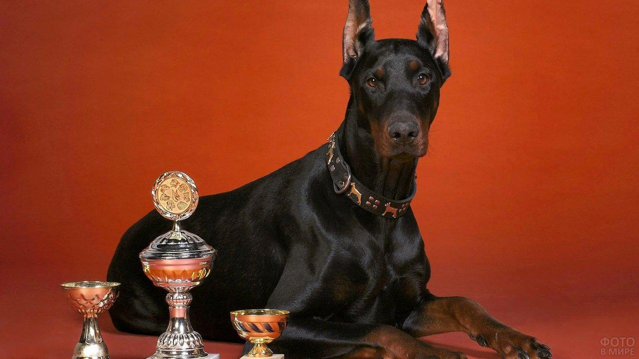 Чёрный доберман лежит рядом со своими трофеями