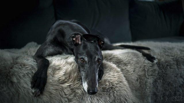 Чёрный грэйхаунд лежит на диване свесив голову