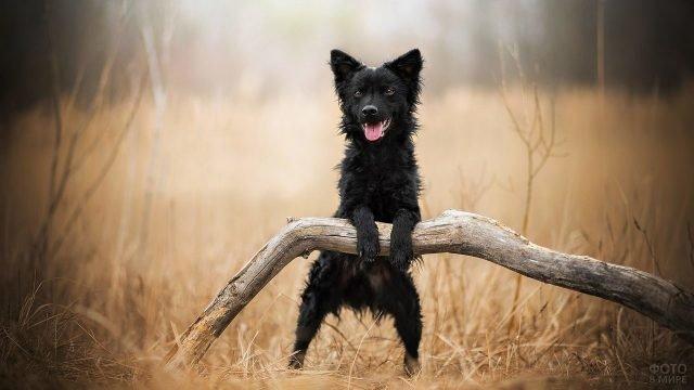 Чёрный пёсик опирается передними лапами на корягу