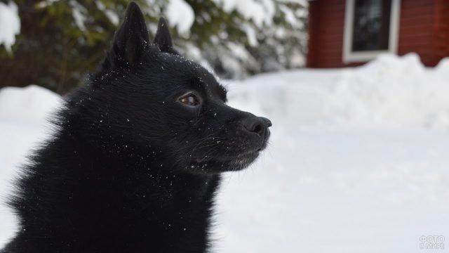 Чёрный шипперке на зимней прогулке