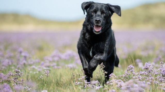 Довольный чёрный лабрадор в прыжке