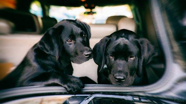 Два чёрных щенка лабрадора на заднем сидении машины