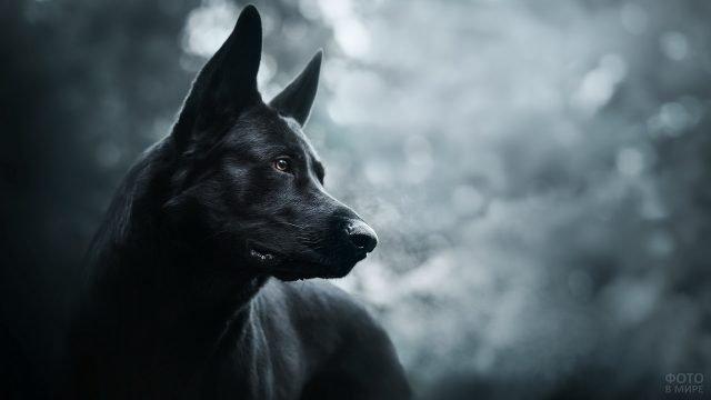 Красивый чёрный пёс с внимательным взглядом
