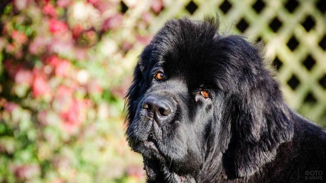 Пристальный взгляд собаки ньюфаундленд