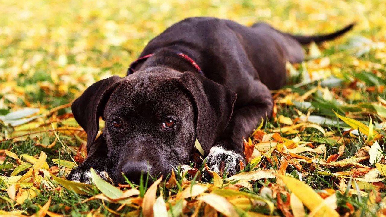 Щенок лабрадора среди осенней листвы