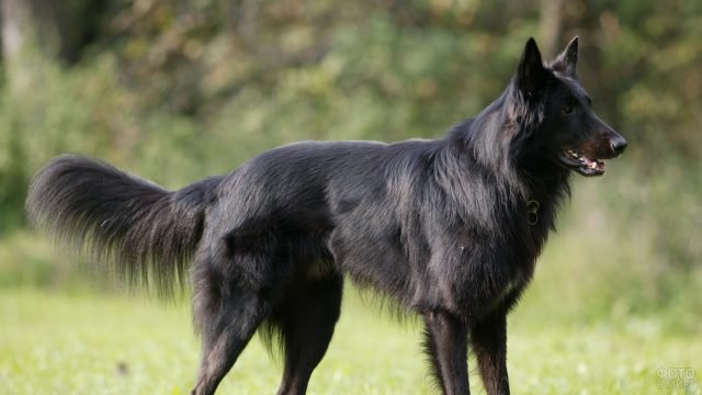 Собака грюнендаль смотрит в сторону