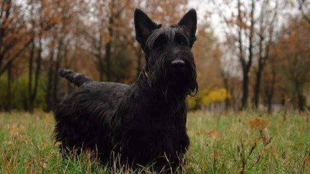 Собака ризеншнауцер на осенней прогулке