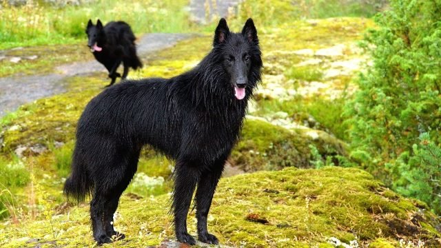 Собаки грюнендаль на природе