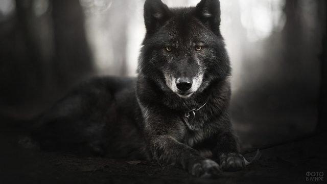 Суровый взгляд чёрного пса