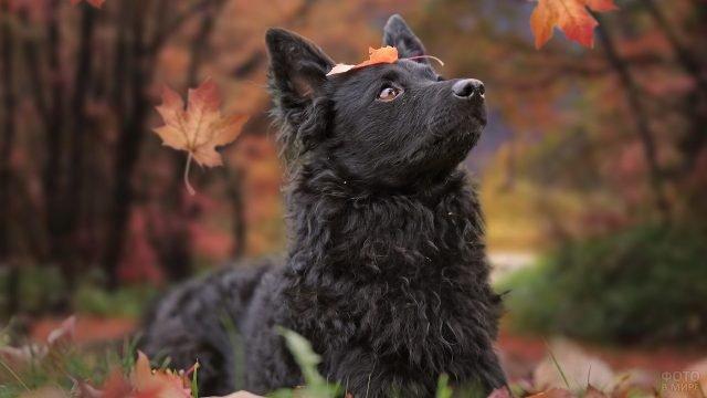 Венгерская пастушья собака под осенними листьями