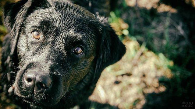 Вопросительный взгляд чёрной собаки
