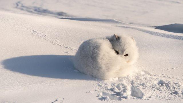 Белый песец свернулся клубочком на снегу