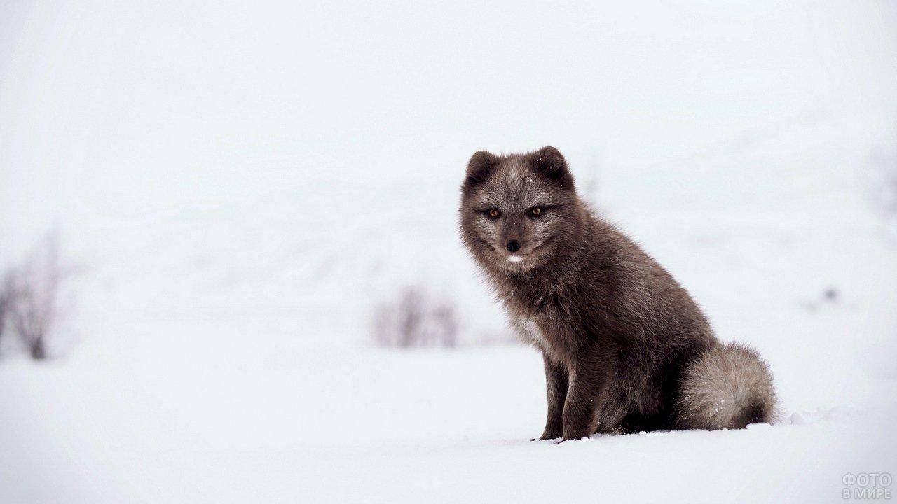 Бурый песец сидит на снегу