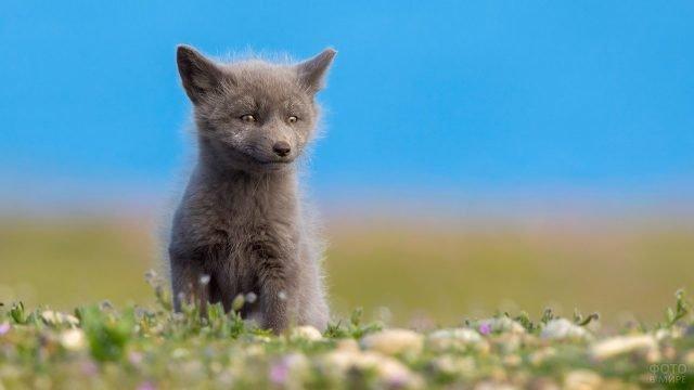 Детёныш бурого песца на цветочной полянке