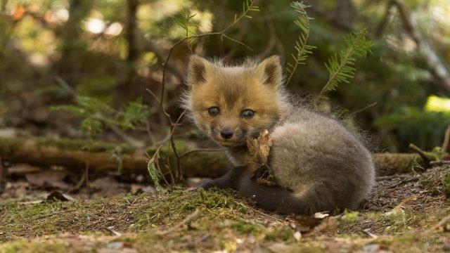 Детёныш бурого песца в осеннем лесу