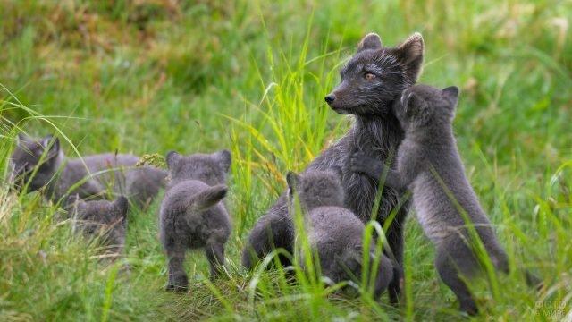 Мама песец со своими детёнышами