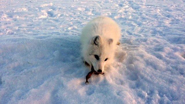 Песец ест рыбу на снегу