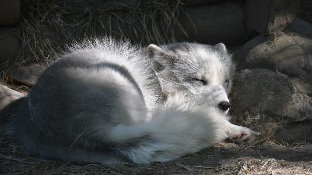 Песец мирно спит, положив голову на камень