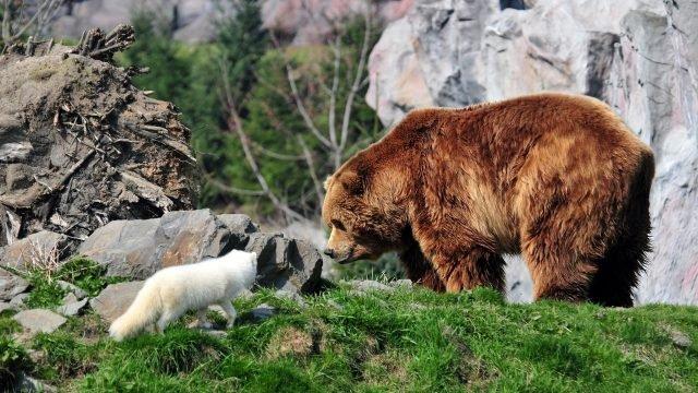 Песец подошёл к бурому медведю