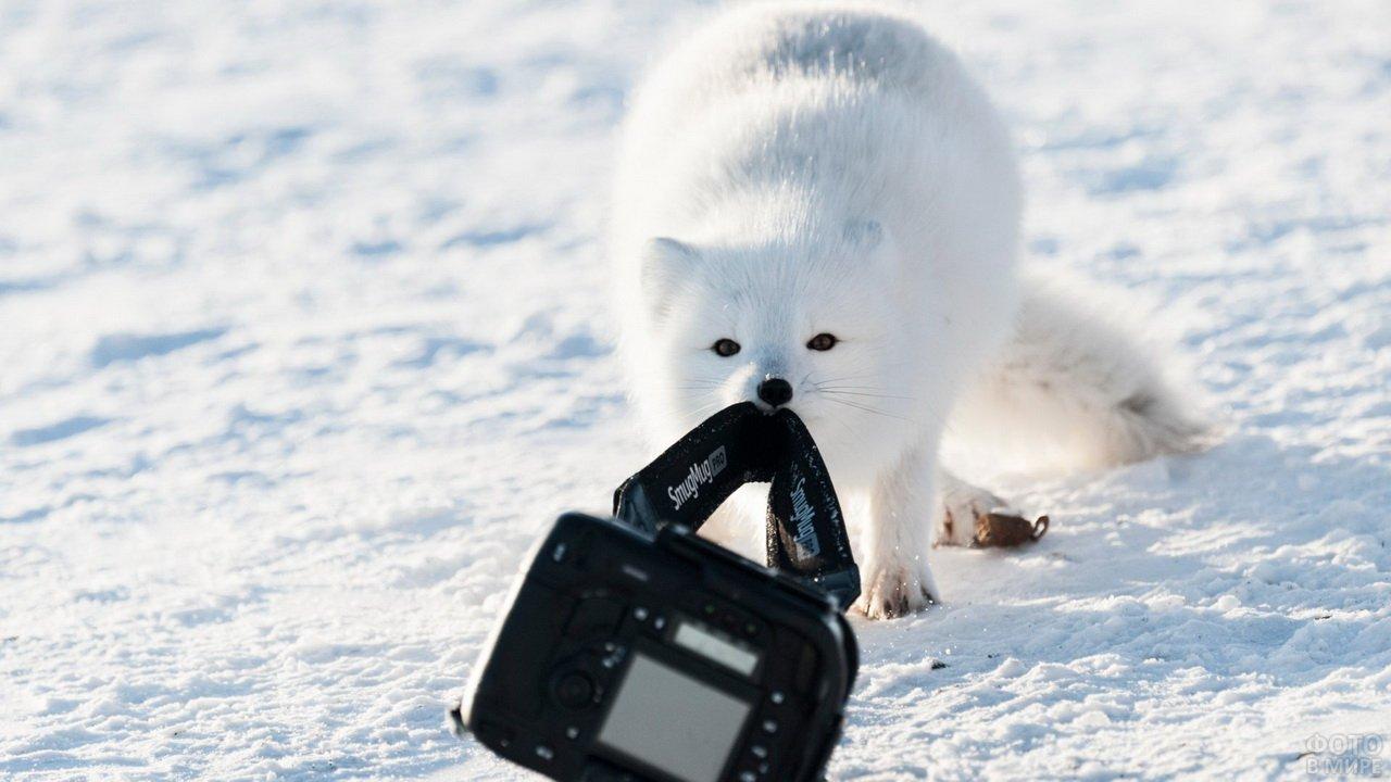 Полярная лиса украла фотоаппарат