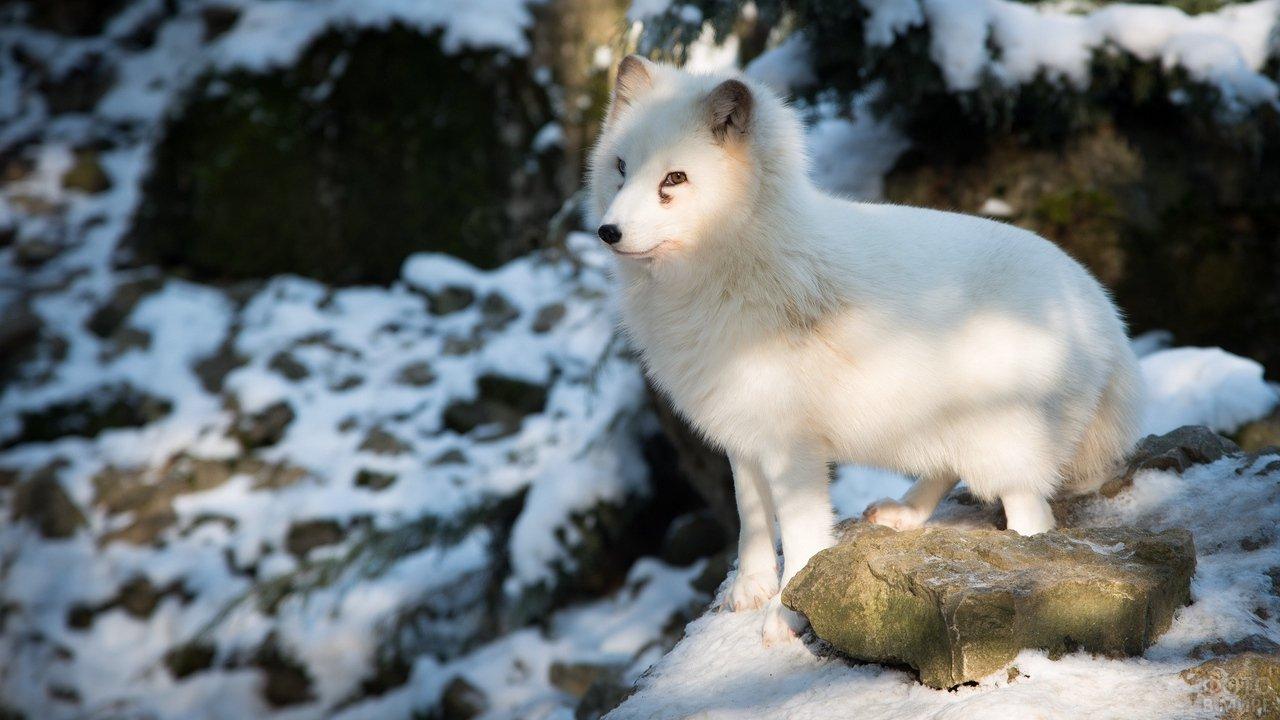 Полярная лисица сидит на камнях
