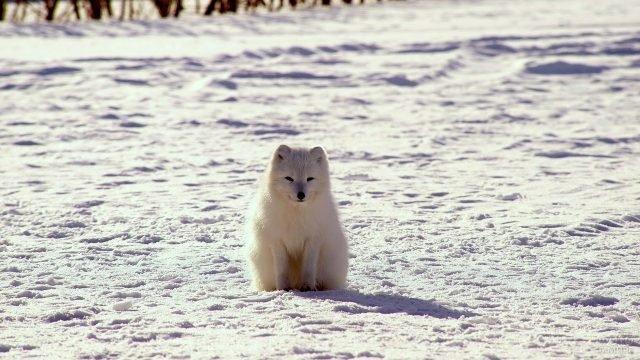 Полярная лисица жмурит глазки от солнечного света