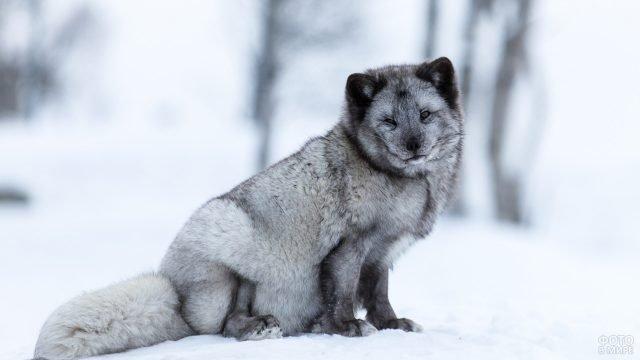Пушистый серебристый песец сидит на сугробах снега