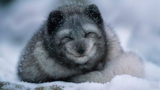 Серебристого песца припорошило снегом