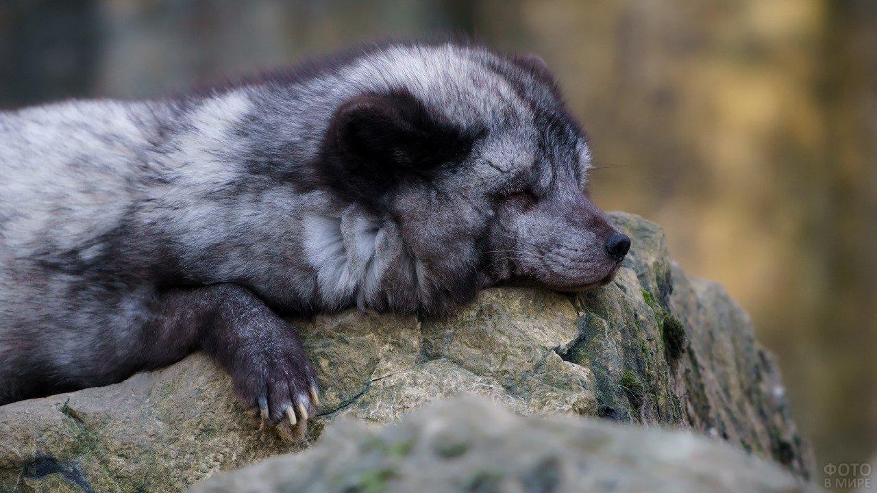 Серебристый песец спит на камнях