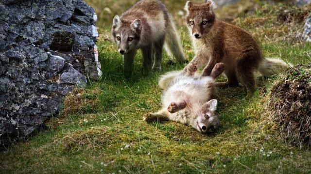 Щенки полярной лисы играют на полянке