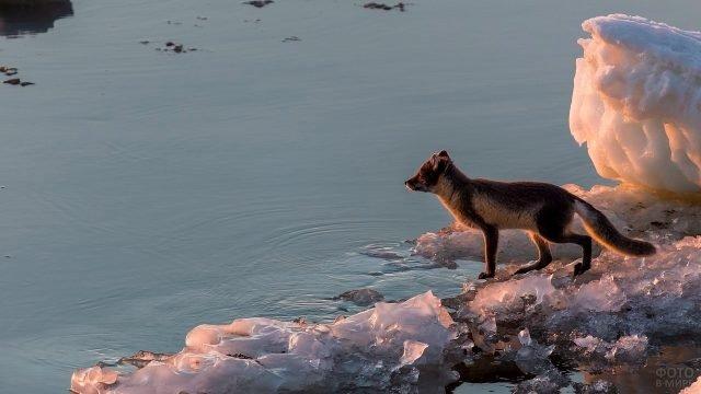 Вуалевый песец стоит на льду возле воды