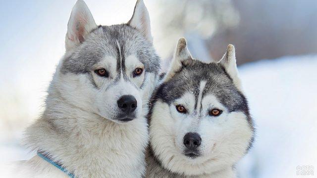 Красивая пара маламутов зимой