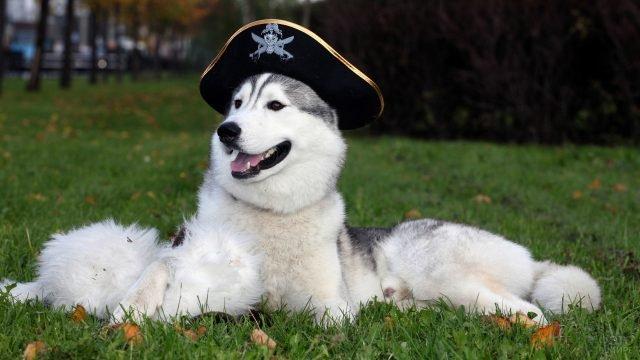 Маламут в образе пирата