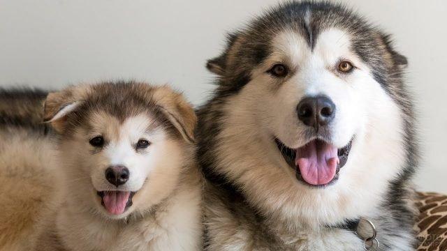 Мама-маламут с щенком смотрят в камеру