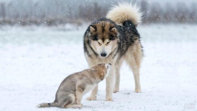Папа-маламут с щеночком на природе зимой