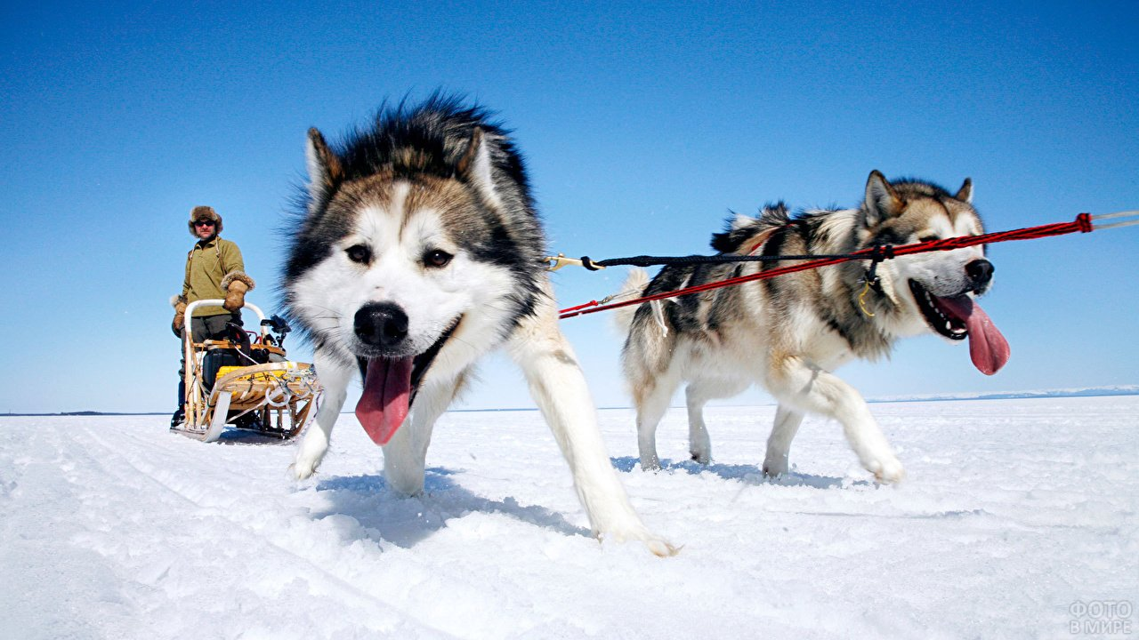 Собачки везут упряжку с санями