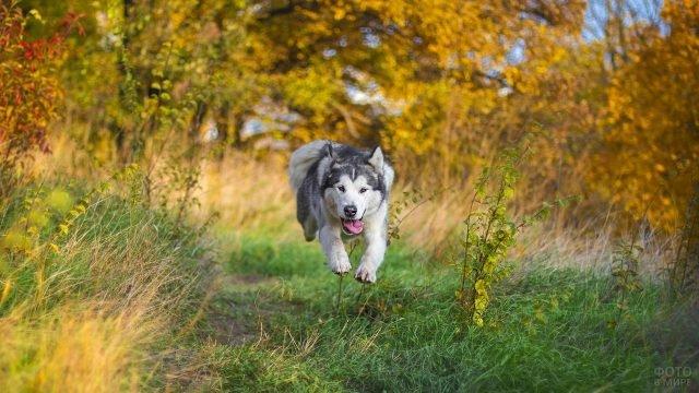 Собака маламут в прыжке