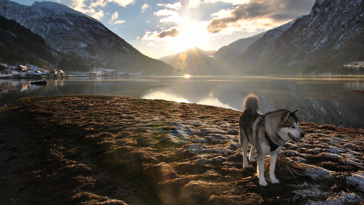 Хаски стоит на берегу на фоне гор и заходящего солнца