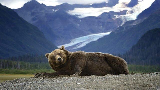 Медведь разлёгся на боку на фоне гор