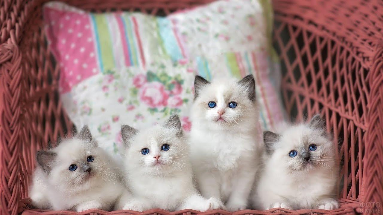 Четыре сиамских котёнка сидят в плетёном кресле