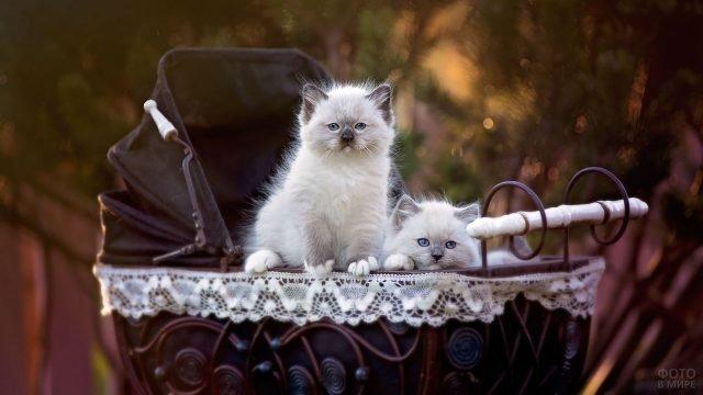 Два котёночка сиамской кошки в декоративной коляске