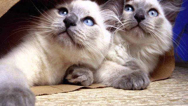 Два сиамских котика сидят в бумажном мешке