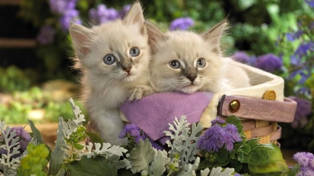 Два сиамских котёночка сидят в корзине на фоне цветов