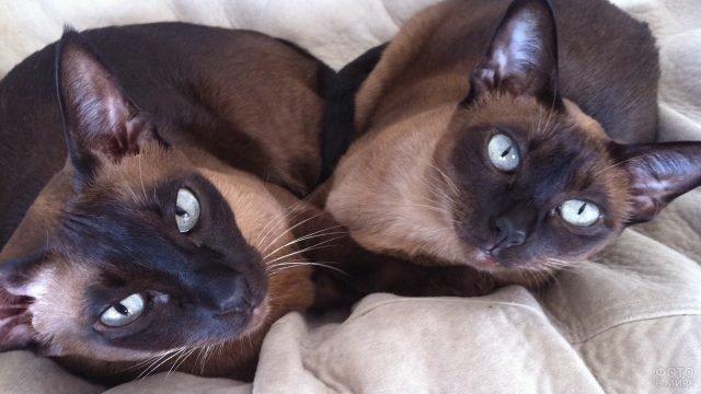 Две сиамские котейки смотрят в кадр