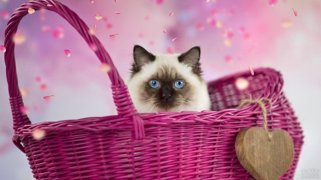 Кошка сиамской породы в розовой корзине
