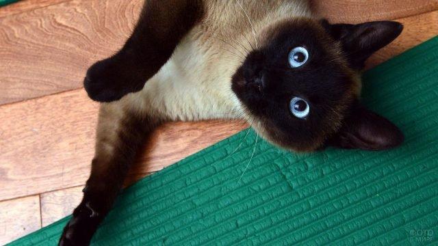 Котик сиамской породы завалился на полу и смотрит в кадр