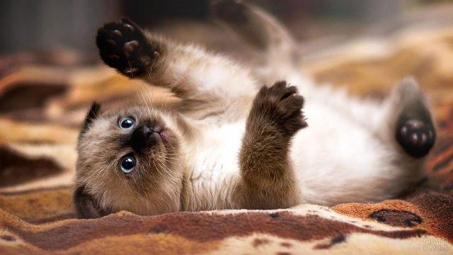 Котёночек сиамской кошки играет на покрывале