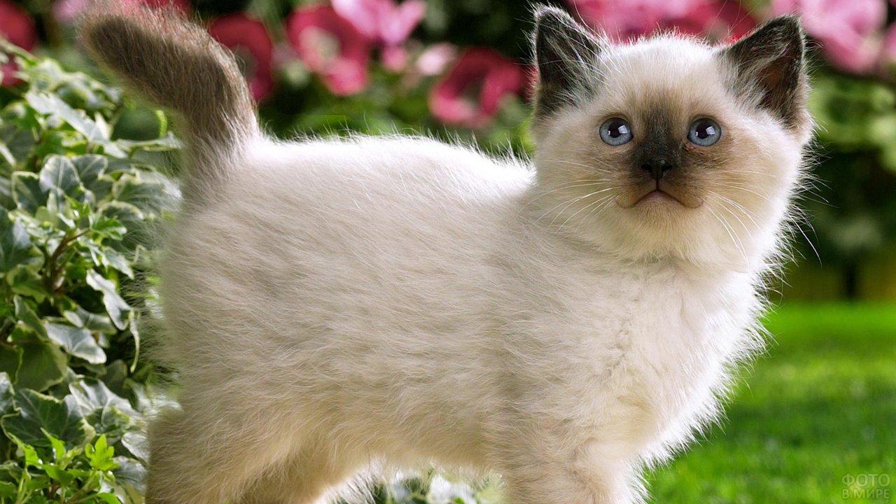 Котёночек сиамской породы улыбается