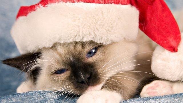 Котёнок сиамки в новогоднем колпачке
